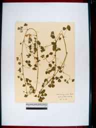 Medicago arabica herbarium specimen from Lydney, VC34 West Gloucestershire in 1909 by Rev. Walter Butt.