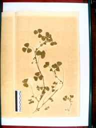 Medicago arabica herbarium specimen from Gloucester, VC33 East Gloucestershire in 1866 by Dr Gustavus A Ornano St Brody.