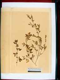 Melilotus altissimus herbarium specimen from Gloucester, VC33 East Gloucestershire in 1864 by Dr Gustavus A Ornano St Brody.