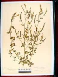 Melilotus officinalis herbarium specimen from Southam, VC33 East Gloucestershire in 1913.