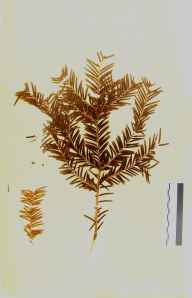 Taxus baccata herbarium specimen from Frith Wood, VC33 East Gloucestershire in 1864 by Dr Gustavus A Ornano St Brody.