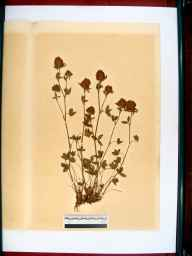 Trifolium pratense herbarium specimen from Newent, VC34 West Gloucestershire in 1864 by Dr Gustavus A Ornano St Brody.