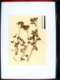 Trifolium medium herbarium specimen from Tidenham, VC34 West Gloucestershire in 1915 by Rev. Walter Butt.