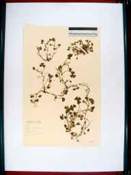 Trifolium subterraneum herbarium specimen from West Wittering, VC13 West Sussex in 1964 by Dorothy Ellis de Vesian.