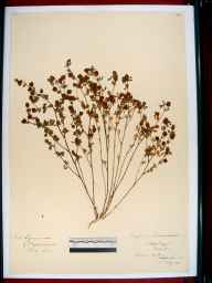 Trifolium procumbens herbarium specimen from Sapperton, Gloucestershire in 1911 by Edward Metcalfe Day.