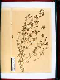 Trifolium procumbens herbarium specimen from Stroud, VC33 East Gloucestershire in 1894 by Dr Gustavus A Ornano St Brody.