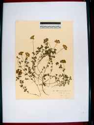 Lotus corniculatus herbarium specimen from Tutshill, VC34 West Gloucestershire in 1910 by Rev. Walter Butt.