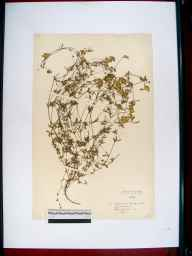 Lotus glaber herbarium specimen from Ashleworth, VC34 West Gloucestershire in 1949 by Dorothy Ellis de Vesian.
