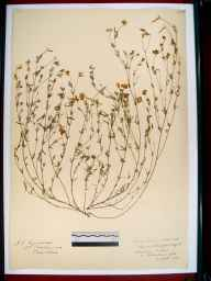 Lotus glaber herbarium specimen from Southam, VC33 East Gloucestershire in 1913.