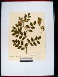 Astragalus glycyphyllos herbarium specimen from Ampney Saint Peter, VC33 East Gloucestershire in 1912 by William J H Greenwood.