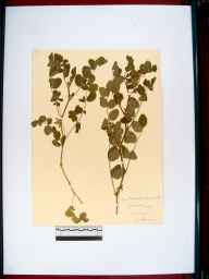 Astragalus glycyphyllos herbarium specimen from Oxenhall, VC34 West Gloucestershire in 1915 by John Wilton Haines.