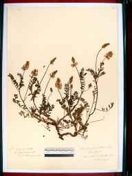 Onobrychis viciifolia herbarium specimen from Ham Hill, VC33 East Gloucestershire in 1912.