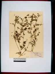 Vicia hirsuta herbarium specimen from Highleadon, VC34 West Gloucestershire in 1909 by Rev. Harry Joseph Riddelsdell.