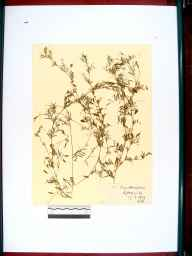 Vicia tetrasperma herbarium specimen from Lydney, VC34 West Gloucestershire in 1909 by Rev. Harry Joseph Riddelsdell.