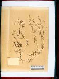 Vicia parviflora herbarium specimen from Hereford & Gloucester Canal in Hereford, VC36 Herefordshire in 1870 by Dr Gustavus A Ornano St Brody.