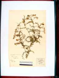 Vicia cracca herbarium specimen from Sandhurst, VC33 East Gloucestershire in 1857 by Frederick E Sessions.