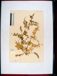 Vicia villosa herbarium specimen from Sharpness Dock, VC34 West Gloucestershire in 1961.