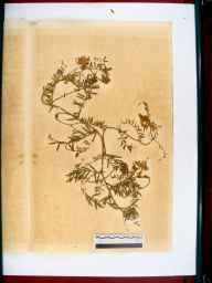 Vicia villosa herbarium specimen from Gloucester Docks, VC33 East Gloucestershire in 1867 by Dr Gustavus A Ornano St Brody.