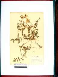 Vicia sylvatica herbarium specimen from Blockley, Dovedale, VC33 East Gloucestershire in 1937 by William Robert Price.