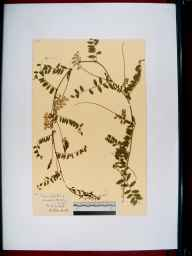 Vicia sylvatica herbarium specimen from Blockley, Dovedale, VC33 East Gloucestershire in 1937 by Rev. Harry Joseph Riddelsdell.