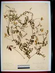 Vicia sylvatica herbarium specimen from Puckham Woods, VC33 East Gloucestershire in 1910 by Edward Metcalfe Day.