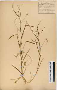 Lathyrus nissolia herbarium specimen from Hempstead, VC33 East Gloucestershire in 1864.