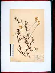 Lathyrus pratensis herbarium specimen from Tuffley, Gloucestershire in 1859 by Frederick E Sessions.