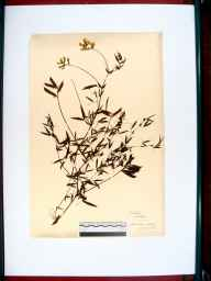 Lathyrus pratensis herbarium specimen from Stonehouse, VC33 East Gloucestershire in 1912.