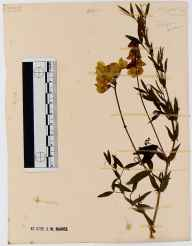 Lathyrus pratensis herbarium specimen from Nailsworth, VC34 West Gloucestershire in 1914.