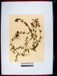 Lathyrus tuberosus herbarium specimen from Cirencester, VC33 East Gloucestershire in 1911 by William J H Greenwood.