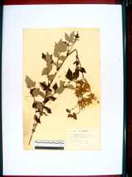 Filipendula ulmaria herbarium specimen from Chaceley, VC37 Worcestershire in 1938 by William Robert Price.