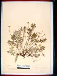 Potentilla anserina herbarium specimen from Hayden, VC33 East Gloucestershire in 1917.