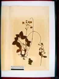 Fragaria moschata herbarium specimen from Dursley, VC34 West Gloucestershire in 1866 by Dr Gustavus A Ornano St Brody.