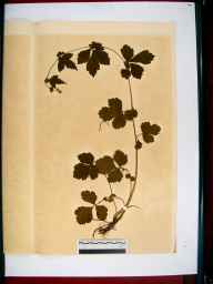 Geum urbanum herbarium specimen from Gloucester, VC33 East Gloucestershire in 1864 by Dr Gustavus A Ornano St Brody.