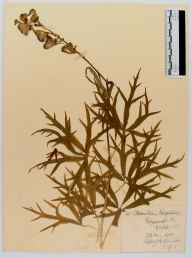 Aconitum napellus herbarium specimen from Edgeworth, VC33 East Gloucestershire in 1913 by William J H Greenwood.