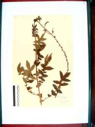 Agrimonia eupatoria herbarium specimen from Avening, VC34 West Gloucestershire in 1912.