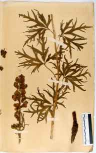 Aconitum napellus herbarium specimen from Hucclecote, VC33 East Gloucestershire in 1864 by Dr Gustavus A Ornano St Brody.