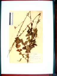 Agrimonia eupatoria herbarium specimen from Coberley, VC33 East Gloucestershire in 1941 by William Robert Price.