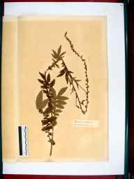 Agrimonia eupatoria herbarium specimen from Hartpury, VC34 West Gloucestershire in 1866 by Dr Gustavus A Ornano St Brody.