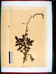 Agrimonia eupatoria herbarium specimen from Gloucester, VC33 East Gloucestershire in 1864 by Dr Gustavus A Ornano St Brody.