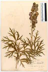 Aconitum napellus herbarium specimen from VC34 West Gloucestershire in 1907 by William Robert Price.
