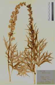 Aconitum napellus herbarium specimen from Owlpen, VC34 West Gloucestershire in 1914 by Edward Metcalfe Day.