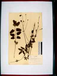 Sanguisorba officinalis herbarium specimen from Walham, VC33 East Gloucestershire in 1939 by William Robert Price.