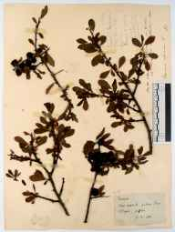 Prunus spinosa herbarium specimen from Penmoel, VC34 West Gloucestershire in 1894 by Rev. Augustin Ley.