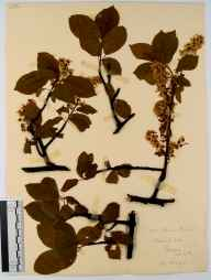 Prunus padus herbarium specimen from Brecon, VC42 Breconshire in 1911 by Rev. Walter Butt.