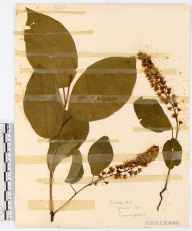 Prunus padus herbarium specimen from Crickley Hill, VC33 East Gloucestershire in 1915 by John Wilton Haines.