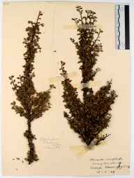 Cotoneaster microphyllus herbarium specimen from Tidenham, VC34 West Gloucestershire in 1912 by Rev. Harry Joseph Riddelsdell.