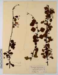 Crataegus laevigata herbarium specimen from Painswick, VC33 East Gloucestershire in 1912.