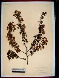 Crataegus laevigata herbarium specimen from Up Hatherley, VC33 East Gloucestershire in 1912.