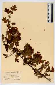 Crataegus monogyna herbarium specimen from Breadstone, VC34 West Gloucestershire in 1937 by Rev. Harry Joseph Riddelsdell.